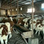 В ЗКО завезена первая партия племенных коров, закупленных по обновлённой программе «Сыбаға»
