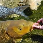 Вправе ли ТОО, занимающееся разведением пресноводной аквакультуры, перейти на СНР и оплачивать НДС со льготой 70%?