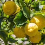 Житель Шымкента разводит цитрусовые и выращивает бананы