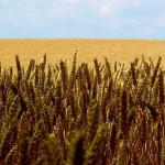Казахстанские учёные увеличили урожайность пшеницы до 46,5 центнера