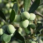 Оливковые деревья посадят на юге Казахстана