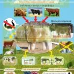 Инфографика «Пушистая порода коров»