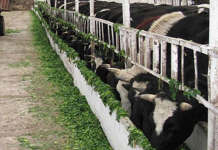 Кормление коровы в период лактации