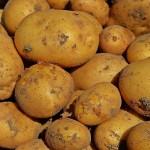 Североказахстанские картофелеводы посадку завершили