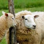 У меня есть ИП, но нет земли, имею 35 голов овец. Могу ли я купить племенного барана-производителя и получать субсидии на овец?