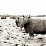 В Туркестанской области хозяин фермы потерял почти всё стадо овец из-за пастуха