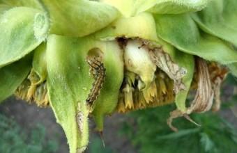 Гусеница хлопковой совки на корзинке подсолнечника