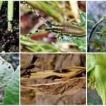 Защита подсолнечника от вредителей и болезней