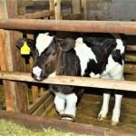 Как из двух коров сделать 120 бурёнок