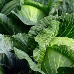 «Многострадальную» капусту с юга Казахстана экспортируют в Беларусь
