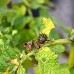 Томские учёные создали робота для борьбы с колорадским жуком