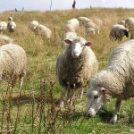 В Туркестанской области общее поголовье овец превысило 6 млн