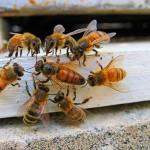 Пчеловоды предлагают павлодарцам поспать на ульях