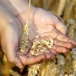 Казахстанские селекционеры создали новый сорт пшеницы