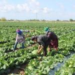 К уборке первого урожая приступили в Туркестанской области