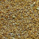 Экспорт зерновых из РК в текущем маркетинговом году превысит 10 миллионов тонн