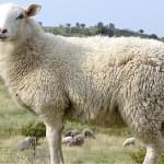 Овцеводы Алматинской области просят акимат открыть авиалинию для экспорта скота