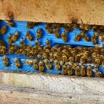 Около 500 пчелосемей после зимовки доставили в СКО с юга