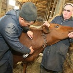 В Костанайской области сельчане отказываются делать прививки крупному рогатому скоту