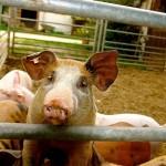 Как посчитать себестоимость свинофермы