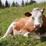 Жамбылские фермеры делают ставку на импортный скот