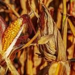 Засуха губит урожай арбузов и кукурузы в Жамбылской области