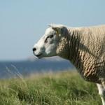 II съезд овцеводов Казахстана состоится 28-29 августа в Алматинской области