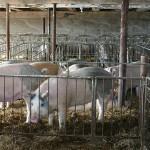Ассоциацию свиноводов планируют создать в ЕАЭС
