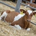 До 30 телят в год от одной коровы будут получать павлодарские фермеры