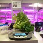 МГУ и Panasonic исследовали «срок жизни» свежесрезанных зелёных салатов