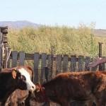 В ВКО выпускники «Бастау» успешно развивают молочное животноводство