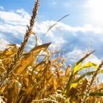 В пострадавших от масштабной засухи регионах Сибири застраховано 213 тыс. га посевов – президент НСА Корней Биждов