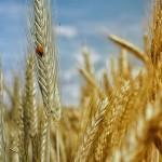 Как выглядит земледелие будущего, рассказали на Дне поля в Аккайынском районе