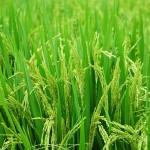 Миллионы на борьбу с бродячим скотом тратят рисоводы