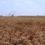 Кызылординские учёные вырастили пшеницу и сафлор без воды