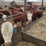 Как грамотно содержать КРС, узнали скотоводы Восточного Казахстана