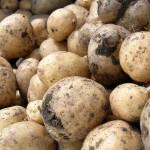 1400 тонн картофеля заложат в стабилизационный фонд Актобе