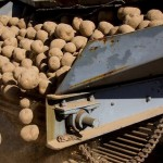 Картофельный бум: Казахстан наступает на пятки Беларуси