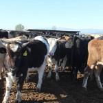 С современными технологиями в сельском хозяйстве ознакомили скотоводов ВКО