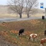 Коровам надели светоотражающие ошейники для снижения аварийности на дорогах ВКО