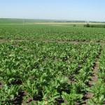 В Павлодарской области намерены вывести собственный сорт сахарной свёклы