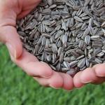 Минсельхоз разработал правила выдачи разрешений на экспорт семян подсолнечника