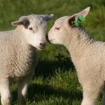 Можно ли получить субсидии при покупке овец на скотном рынке (товарных ягнят)?