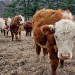 Дефицит пастухов и доярок: атырауские фермеры терпят убытки из-за недостатка кадров
