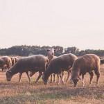 Мелкий богатый скот: овцеводы пообещали накормить Казахстан
