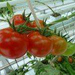 Темпы тепличного производства наращивают в Туркестанской области