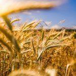Разработан новый метод генетической модификации пшеницы