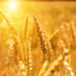 Казахстанские сорта пшеницы пользуются спросом за рубежом