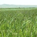 27-летний предприниматель оставил работу в офисе и уехал выращивать рис в Алматинской области