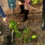 В Жамбылской области посажены первые лимонные саженцы